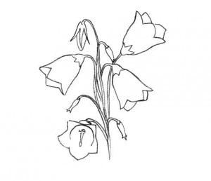 risuem-cvetok-kolokolchik-4
