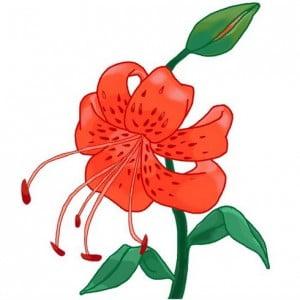 risuem-tigrovuu-liliu-11