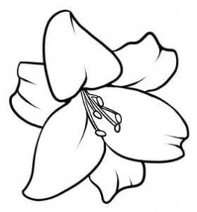 как правильно нарисовать лилию