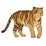Как рисовать тигра карандашом поэтапно