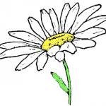 Как правильно нарисовать ромашку карандашом поэтапно
